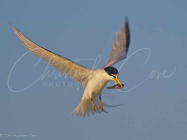 Tern with Fish1