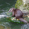 Otter, Lutra lutra, Breckland, March 2013. The third individual we saw during the day, with a damaged nose....