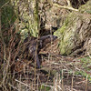 Otter, Lutra lutra, Breckland, March 2013. Exploring amongst alders.