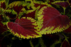 8/09:  Coleus at T.C. Steele