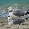 Beach Birds, FL
