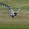 Arctic Tern, Rif, Snaefellsnes