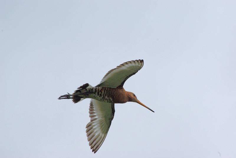 Black-tailed Godwit, Knarrarosviti