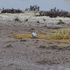 Kentish Plover and Chicks, Kalloni Salt Pans, 9th May 2013