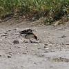 Woodchat Shrike, Sigri