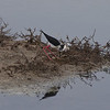 Black-winged Stilt and nest, Kalloni Salt Pans, 9th May 2013