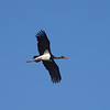 Black Stork, Kalloni Salt Pans, 3rd May 2013