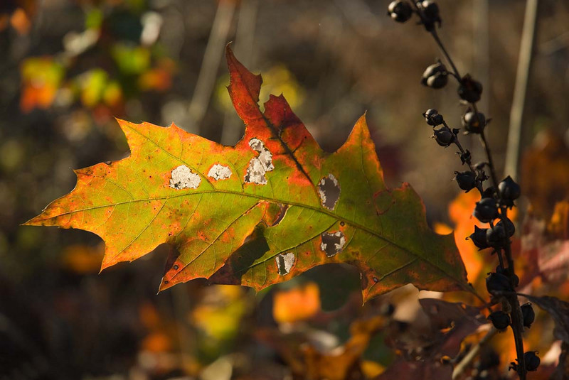 11/09:  A weathered leaf near Narrows Bridge in Parke County, IN
