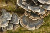 Turkey-tail fungus.