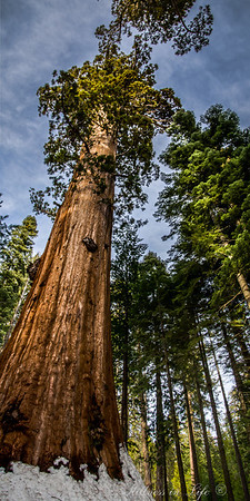 An upward perspective of a Giant Sequoia.