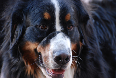 Charlie (Great Bernese Mountain Dog, Amy & Sean Moynihan, Louisville)