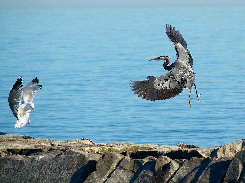 Hey! You're Headed for My Spot! <br /> A Great Blue Heron and a Seagull appear to be headed for the same landing spot. They did actually land inches from each other in the same spot.  Along the shores of Lake Erie in Lorain, OH.