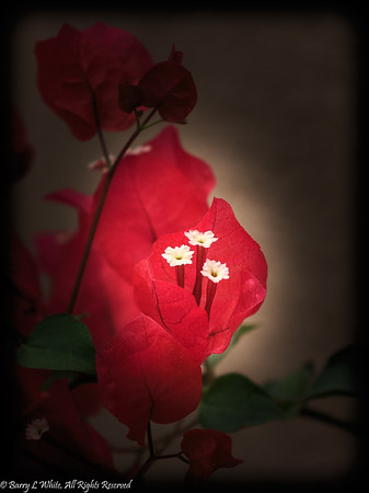 Week 44: Single Subject - Red Bougainvillea