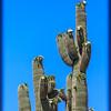 Saguaros in Bloom (3561)