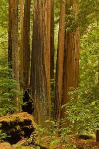 Redwood Cluster, Portola Redwoods SP