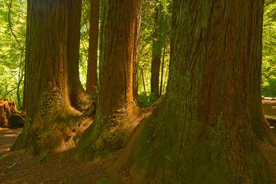 Redwoods, Samuel P. Taylor SP