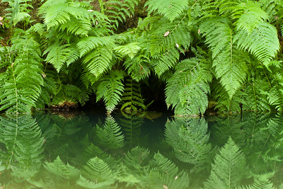 Reflections, Portola Redwoods SP