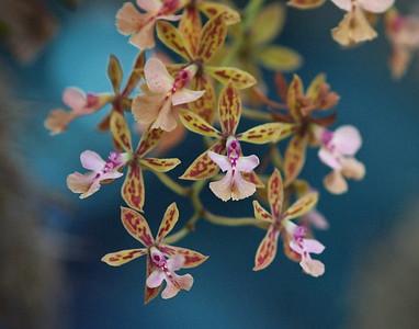 Orchid_Dance_2010