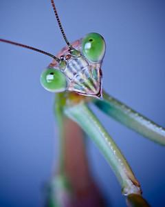 Praying_Mantis_Joy_2010
