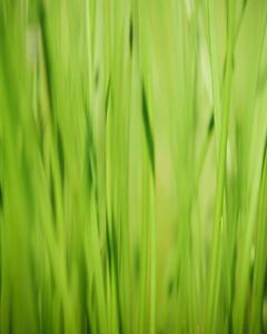 Summer_Grass_2010