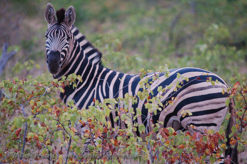 "Published in the Senalala Game Lodge website.   <a href=""http://www.senalala.co.za"">http://www.senalala.co.za</a>"