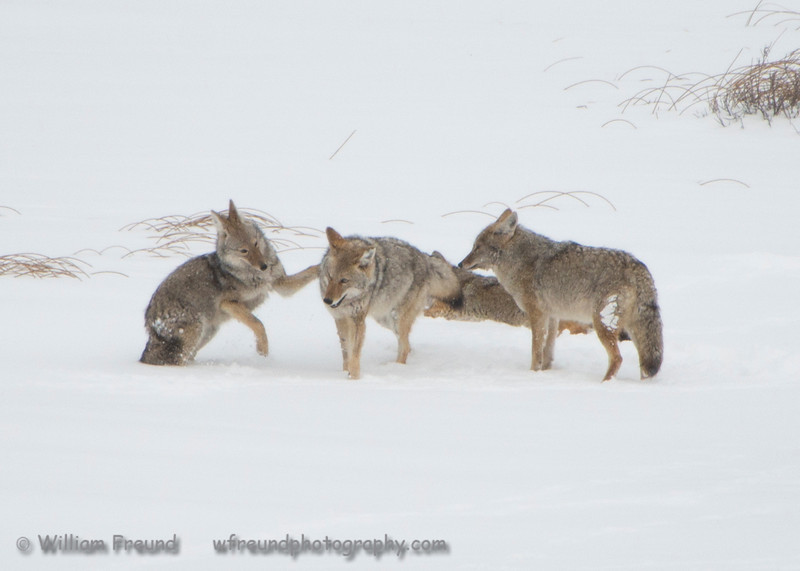 Coyote Family, Yellowstone National Park