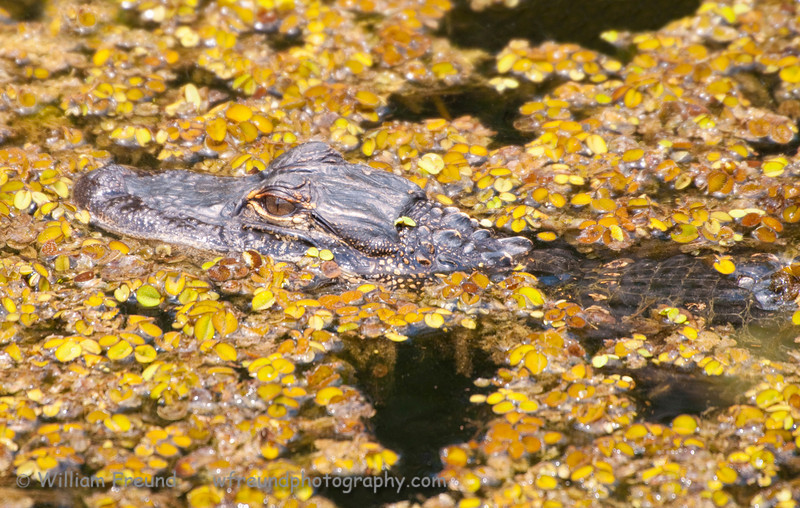 Baby gator in Shark Valley, the Everglades