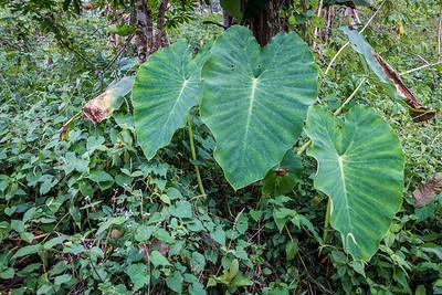 Taro, Colocasia esculenta (Araceae). Nyasoso, Southwest Region, Cameroon Africa