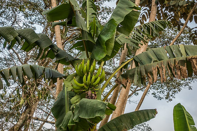 Plantain,  Musa sp. (Musaceae). Bangem, Southwest Region, Cameroon Africa