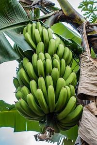 bananas. Bangem, Southwest Region, Cameroon Africa