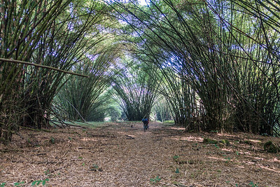 Bamboo forest. Hike to Edib, Southwest Region, Cameroon Africa