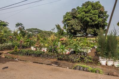 Plant nursery. Ekona, Southwest Region, Cameroon Africa