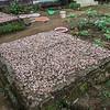 Drying coco beans, <i>Theobroma cacao</i> (Malvaceae). Nyasoso, Southwest Region, Cameroon Africa