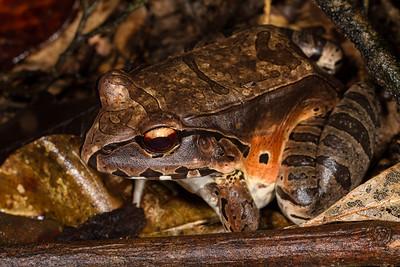 smokey jungle frog, Leptodactylus pentadactylus (Leptodactylidae).  Bates trail, Shiripuno, Orellana Ecuador