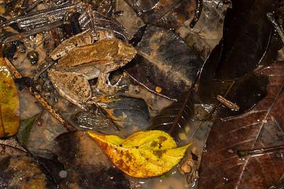 Leptodactylus discodactylus (Leptodactylidae). unnamed trail, Shiripuno, Orellana Ecuador