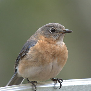#1447  Eastern Bluebird, female