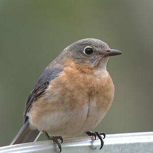 #1447  Eastern Bluebird, female