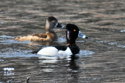 1407  Ring-necked Duck pair