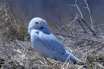 #1452  Snowy Owl at Salisbury Beach, MA    04-22-18