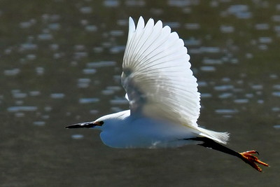 #1487  Snowy Egret in flight