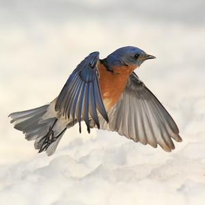 #1427  Eastern Bluebird, m  taking flight