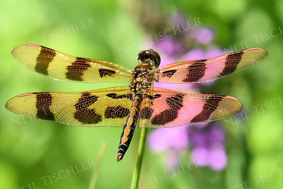 #1422  Halloween Pennant Dragongly