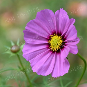 #1395  Pink Cosmos