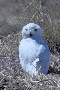 #1451  Snowy Owl at Salisbury Beach, MA    04-22-18