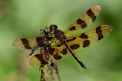 #1467  Halloween Pennant dragonfly