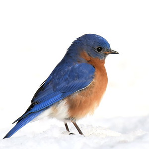 #1428  Eastern Bluebird, m  on snow