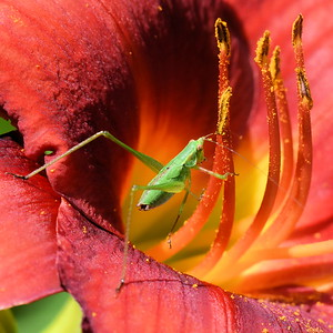 #1472  Grasshopper on red daylily