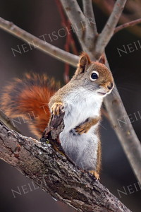 #1371  Red Squirrel  (in oratory pose)