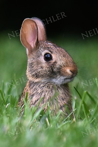 1392  Baby Bunny  (notice how short its ears are, and the height of the mowed grass)