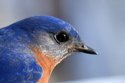 #1431  Eastern Bluebird portrait, male